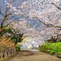 鶴舞公園 (夜景) あじさいの散歩道 公園東の桜 April 2020