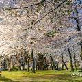 夜景 鶴舞公園 桜林 April 2020