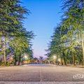 早朝 鶴舞公園 正面中央 ヒマラヤスギ並木