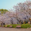 早朝 鶴舞公園 なごやかベンチと桜 April 2020