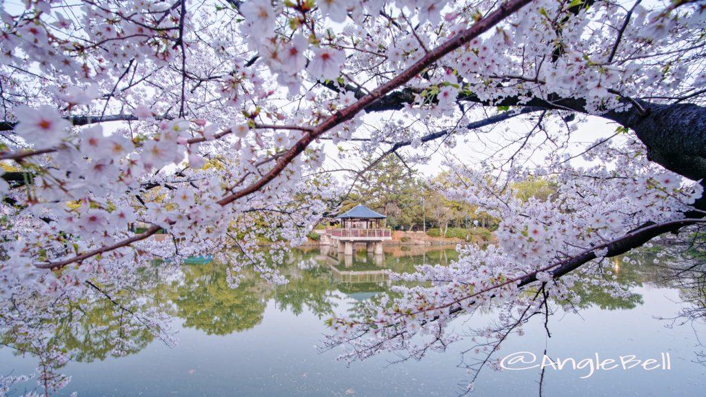 早朝 鶴舞公園 竜ヶ池 浮見堂と桜の風景 April 2020