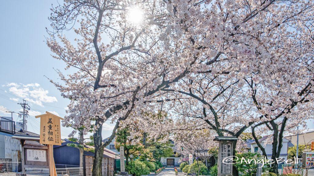雲心寺 (熱田区尾頭町) 桜