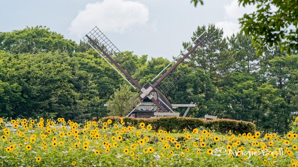 名城公園北園 ヒマワリとオランダ風車 June 2020