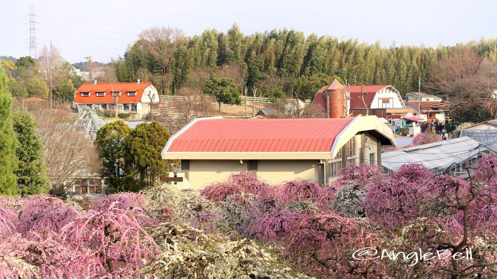 名古屋市農業センター 芝生広場から見た しだれ梅園