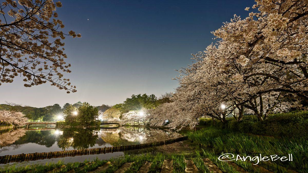 夜景 名城公園北園 おふけ池から見る桜の風景 March 2018