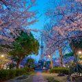 夜明け前 久屋大通公園 いこいの広場 桜
