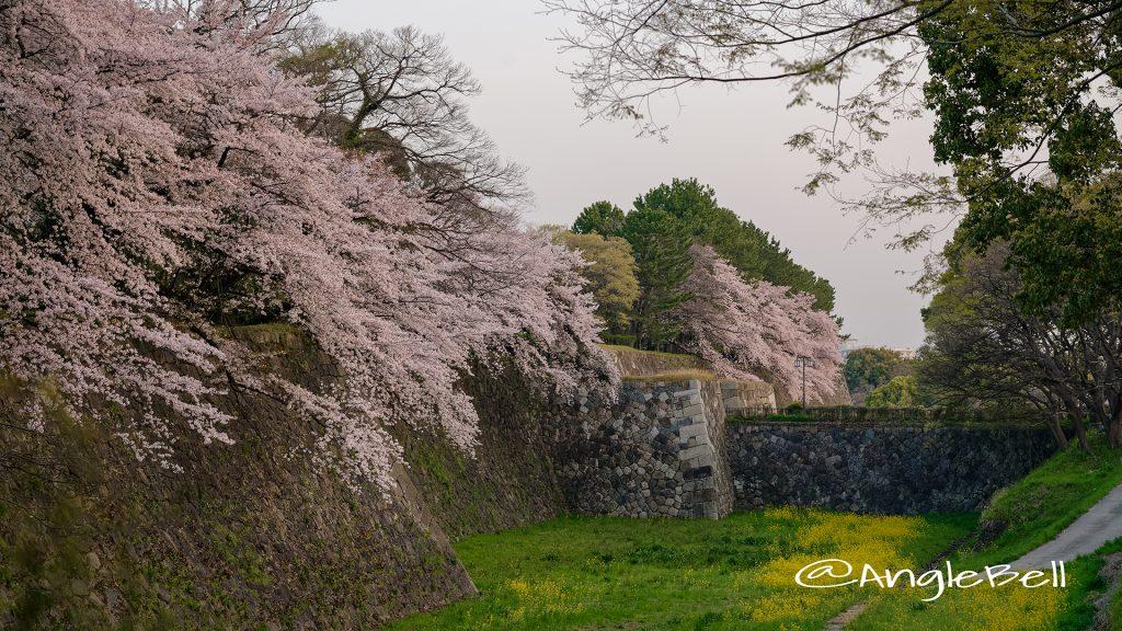 早朝 名古屋城 二の丸東外堀の桜と菜の花 March 2018