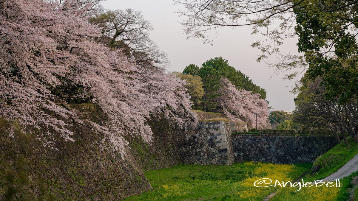 早朝 名古屋城 二の丸東 外堀の桜と菜の花  March 2018