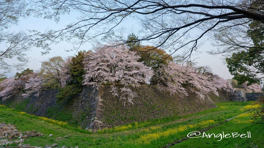 早朝 名城街園から見る 名古屋城 二の丸東外堀の桜と菜の花