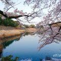 早朝 御深井堀から見る桜と名古屋城 March 2018