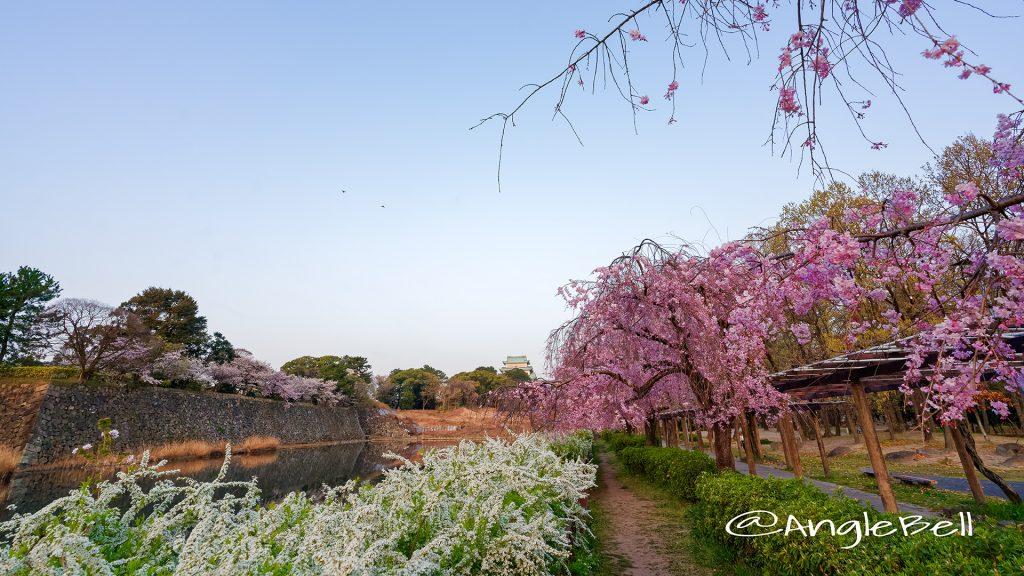 名城公園(北園) 藤の回廊の枝垂れ桜と雪柳 March 2018