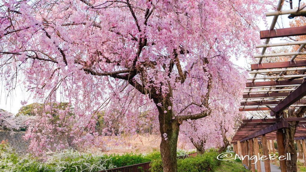 名城公園(北園) 藤の回廊の枝垂れ桜 March 2018