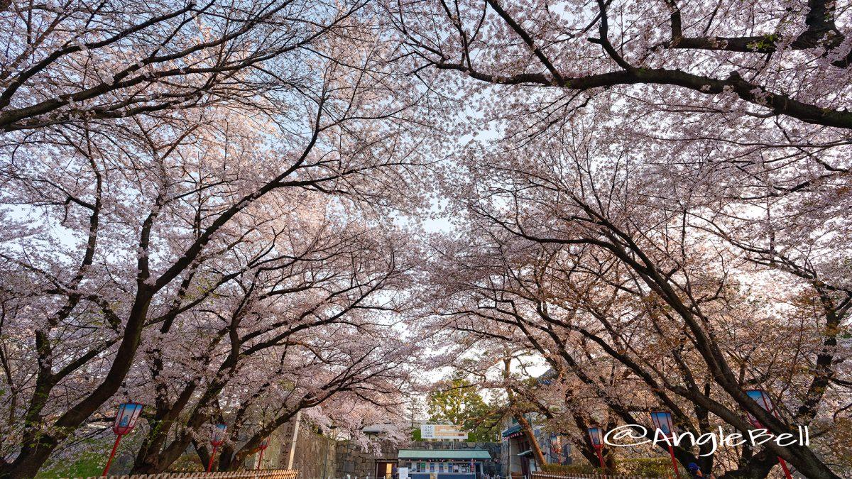 早朝 名古屋城 正門前の桜 March 2018