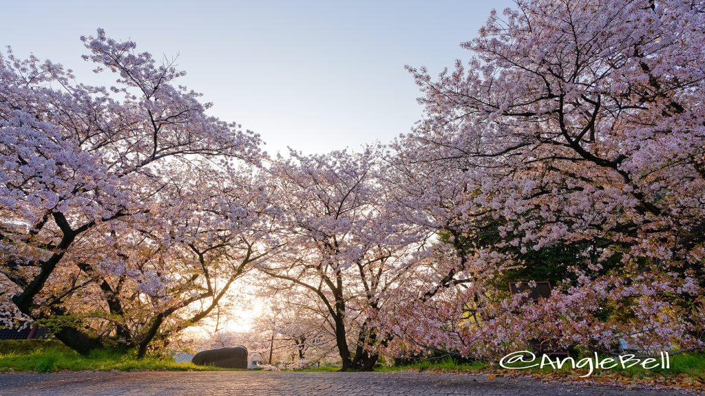 彫刻の庭の桜と朝日