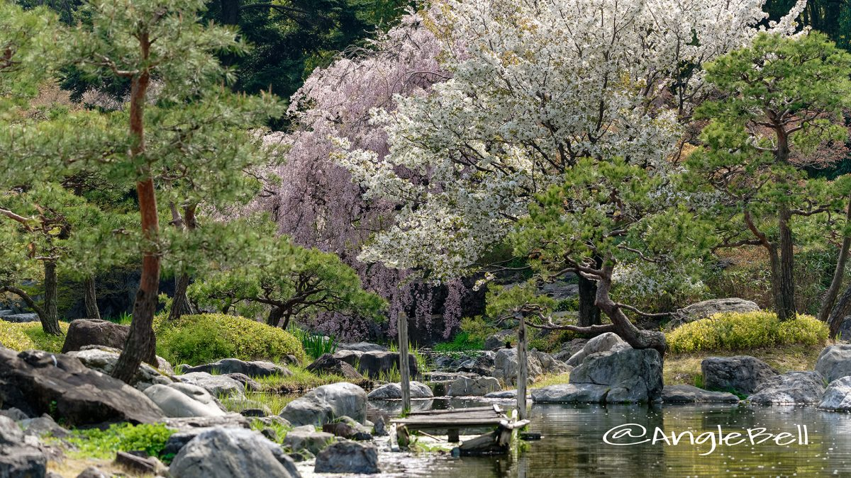 白鳥庭園 分流の景(木曽三川) とシダレザクラ April 2018