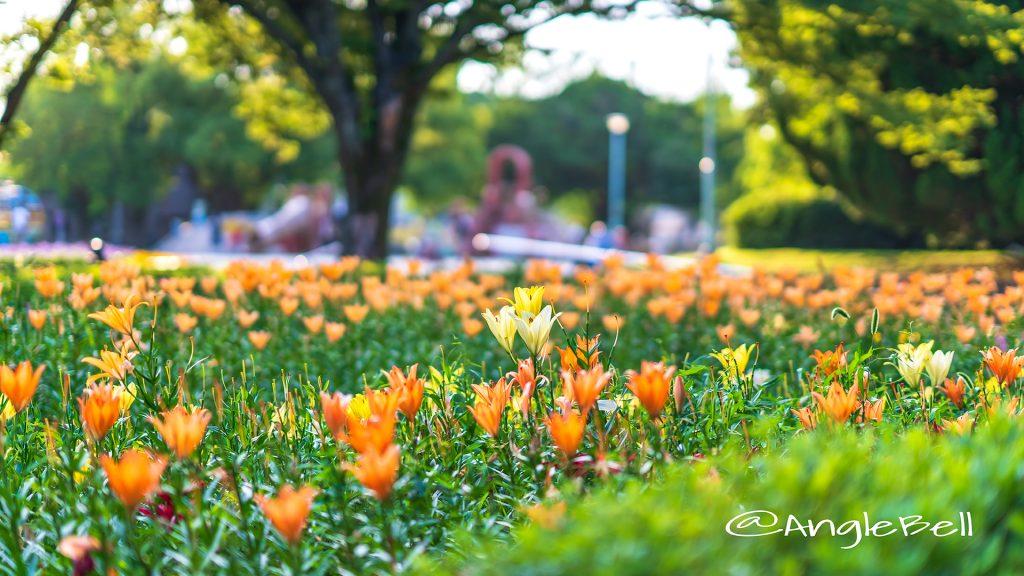 夕景 千種公園のユリ 2018