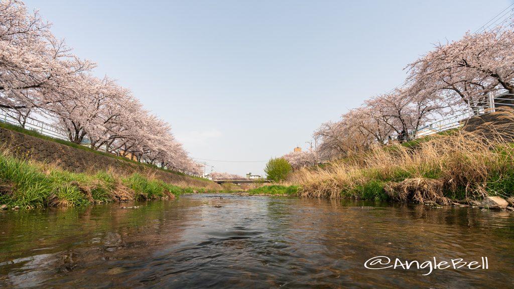 香流川 桜並木 2019