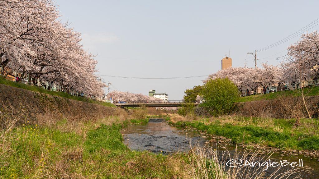 香流川緑道の桜並木(神の木人道橋) 河畔
