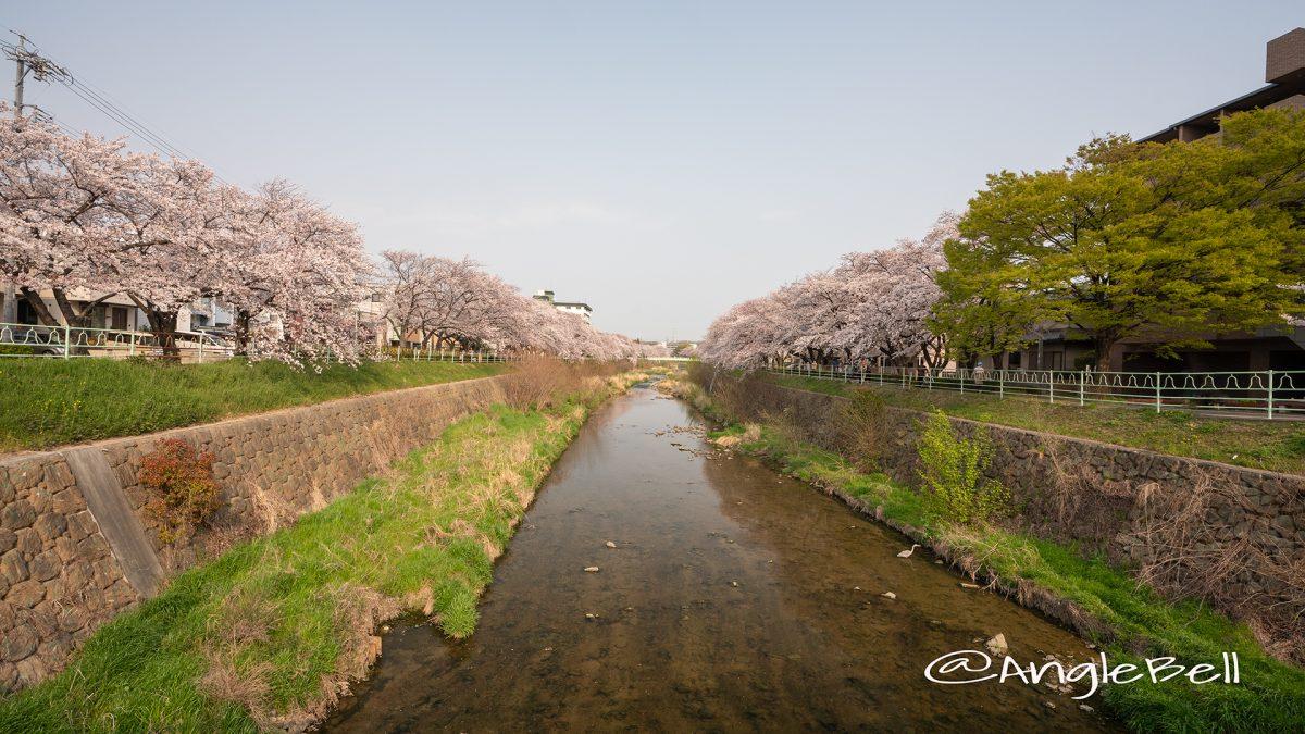 香流川緑道の桜並木(中島橋)
