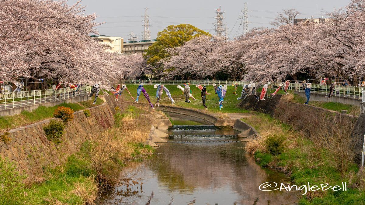 香月人道橋 桜並木と鯉のぼり