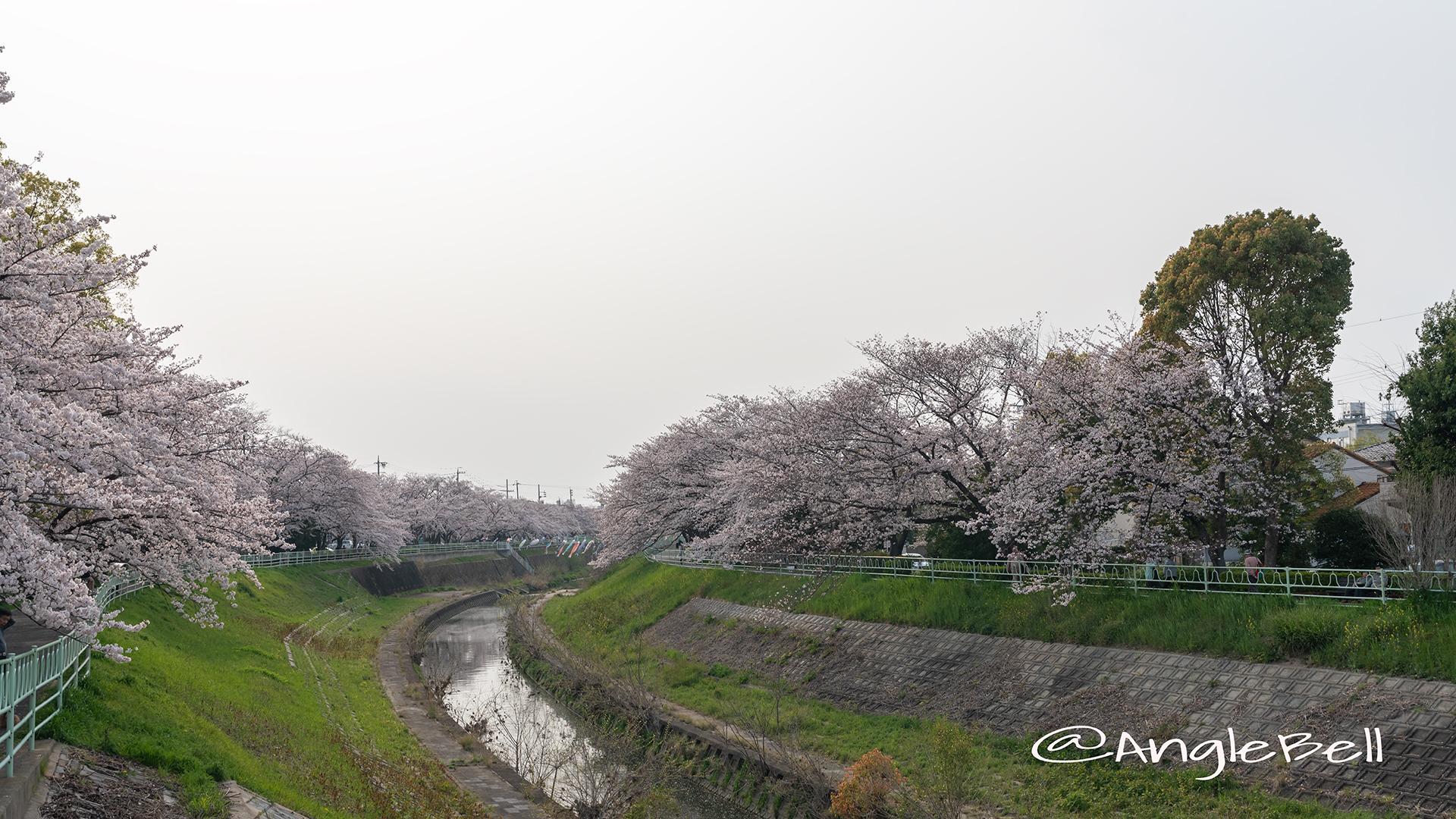 香流川(引山橋)桜並木