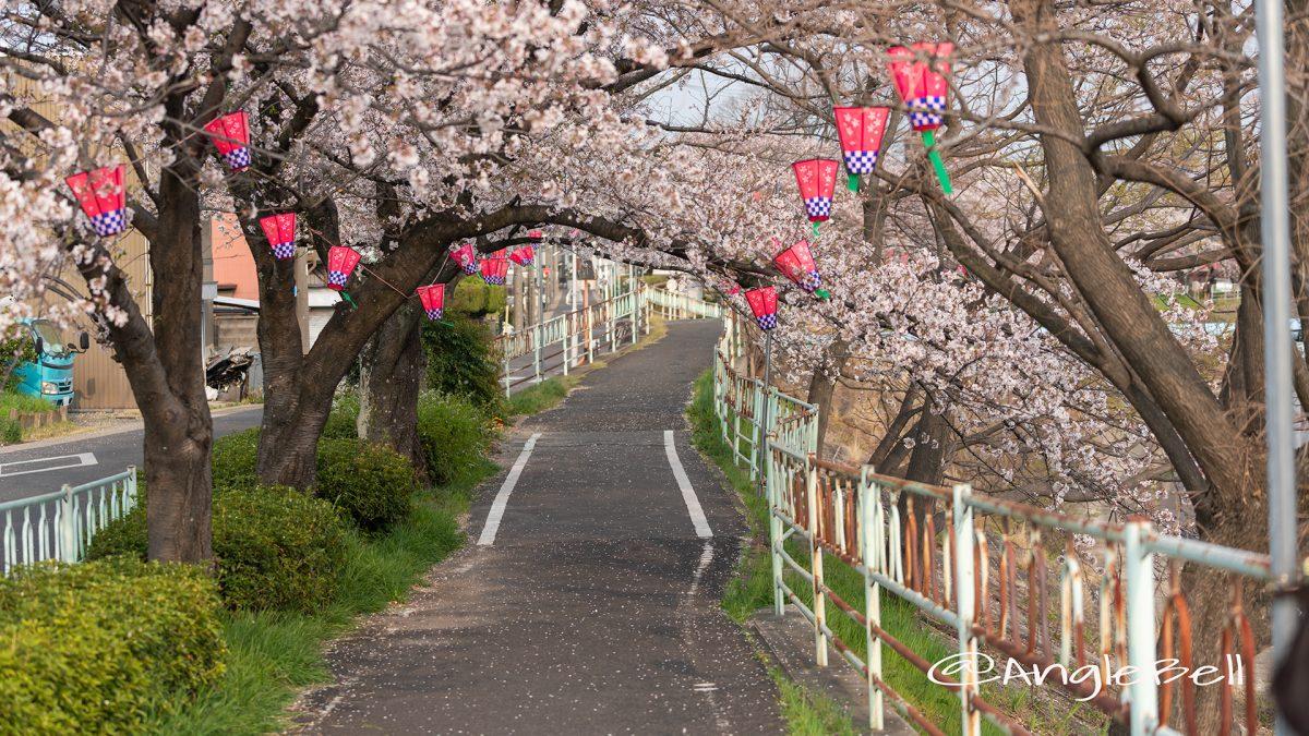 香流川緑道(延珠橋) 桜並木