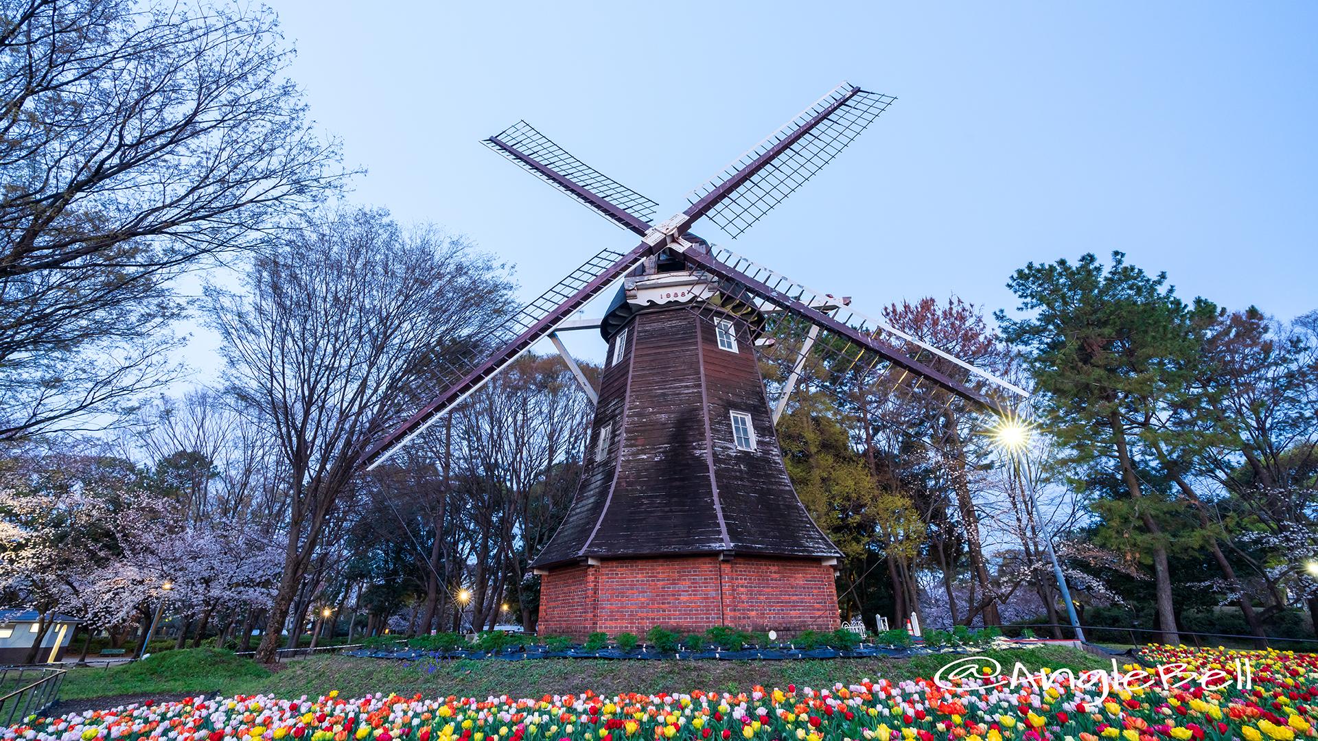 早朝 名城公園 チューリップと桜 オランダ風車2019