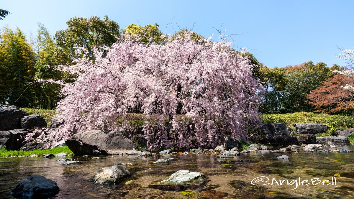 白鳥庭園 観桜会 枝垂れ桜 April ,2019