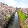 北区田幡歩道橋から見る堀川の桜 April,2019
