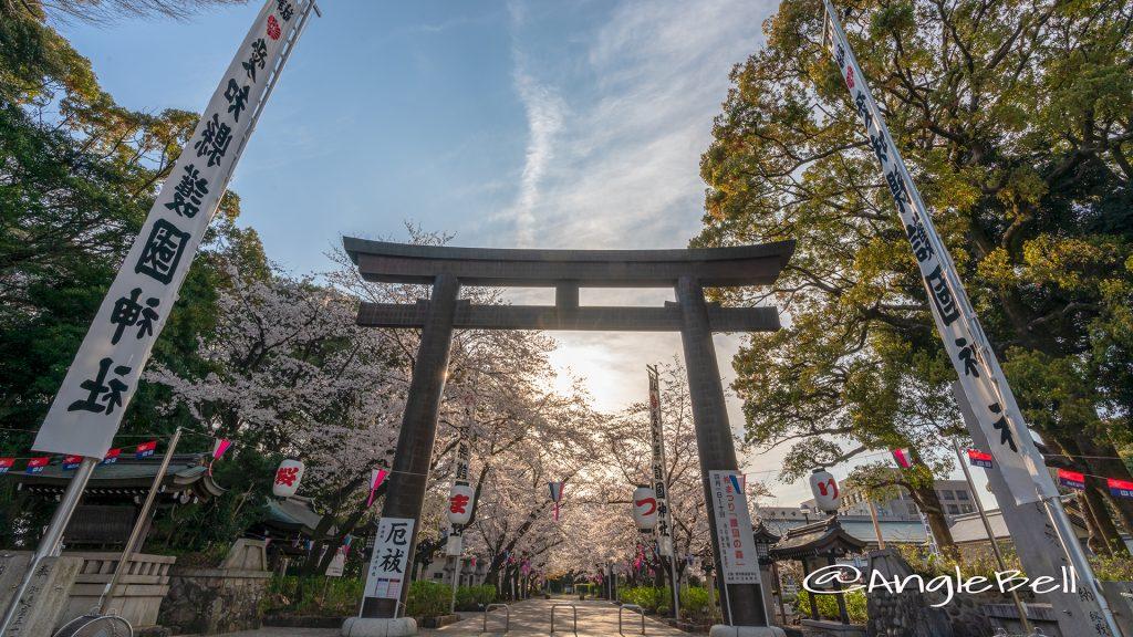 夕景 愛知縣護國神社 鳥居と桜まつり April 2019