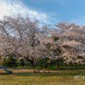 夕景 外堀通り名城公園 大津橋西側 ライオンヘルスパークの桜2019