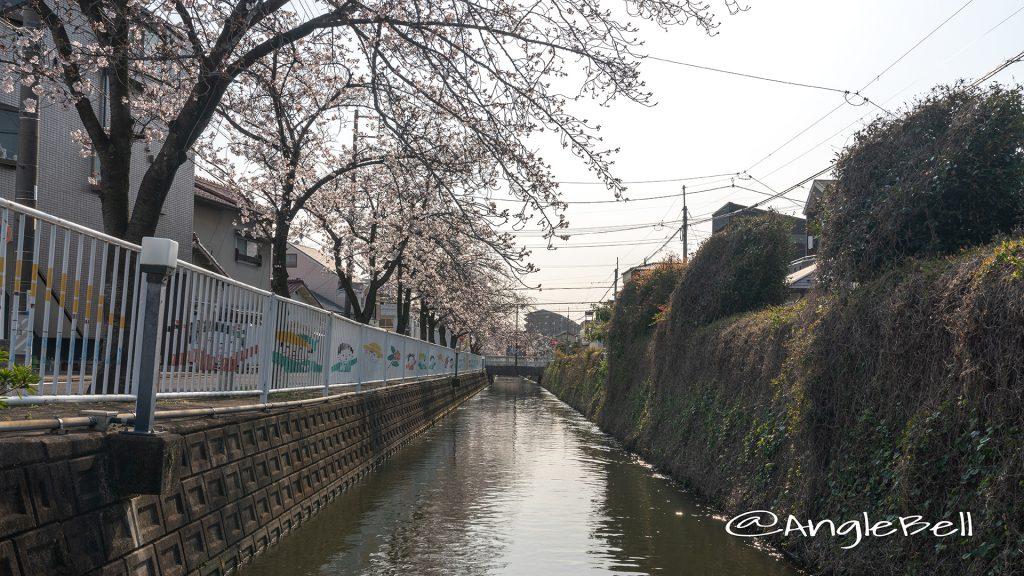 庄内用水縁道 桜