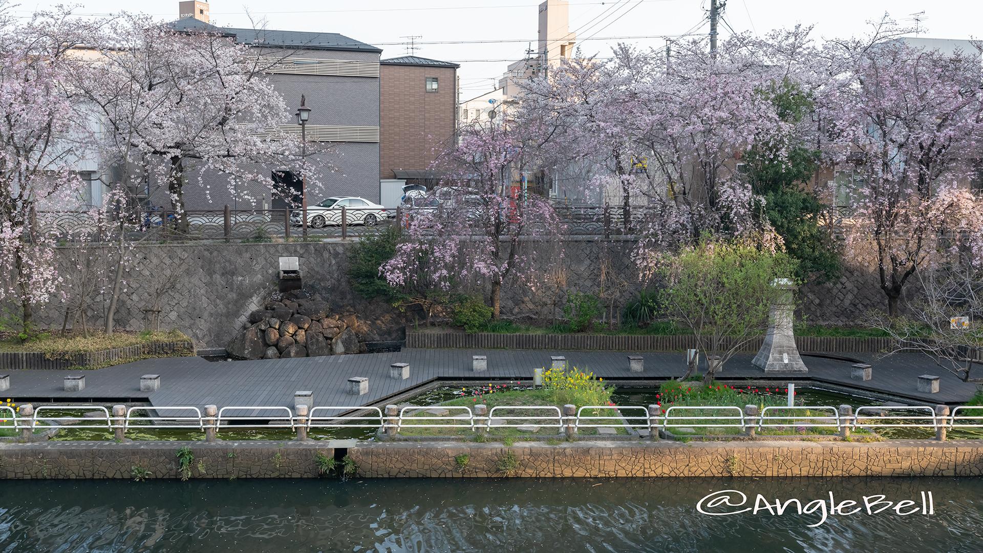 北清水親水広場 しだれ桜
