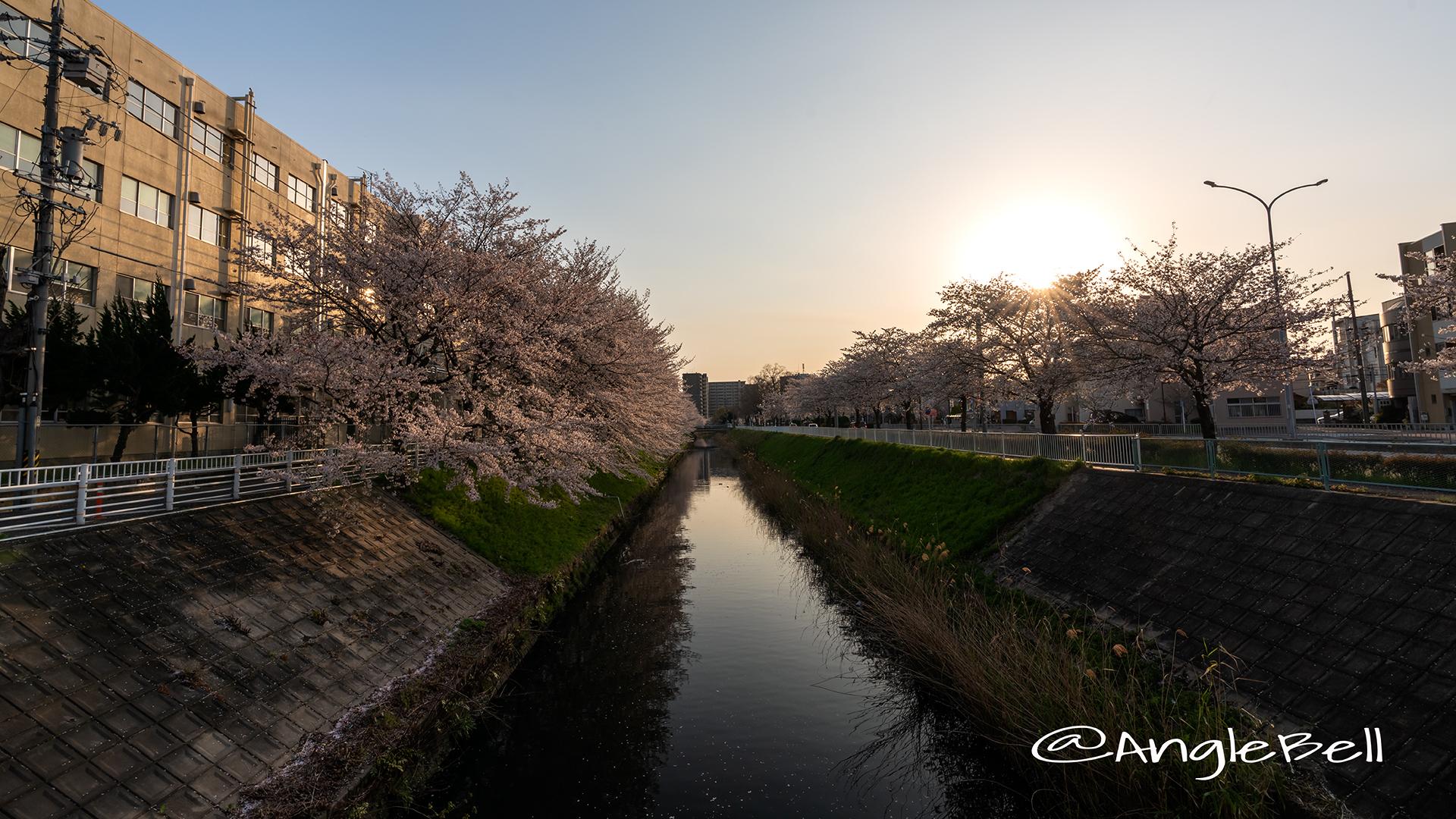 夕景 田幡橋から見る堀川の桜 April,2019