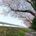 矢田川 河川敷 天神下公園 付近の桜
