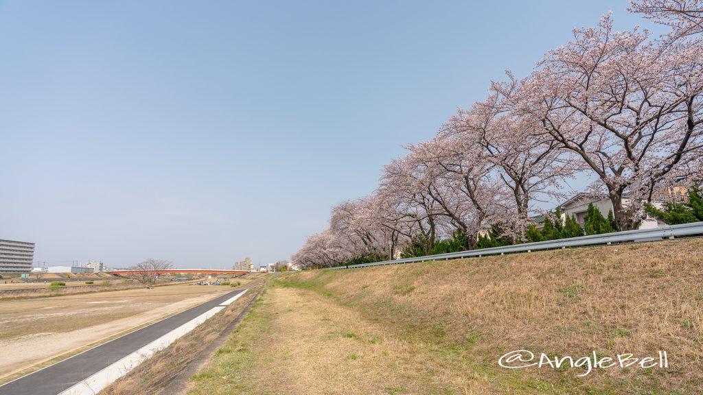矢田川 河川敷 桜と小原橋