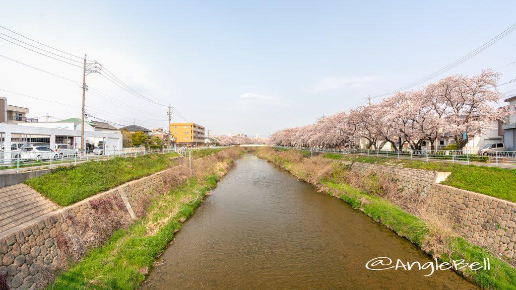 香流川緑道の桜並木(新屋敷橋)