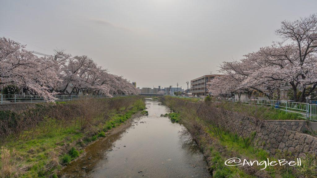 香流川緑道の桜並木(神の木人道橋)