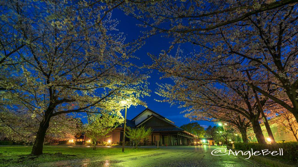 夜景 雨上がりの名古屋能楽堂と桜風景 April 2019