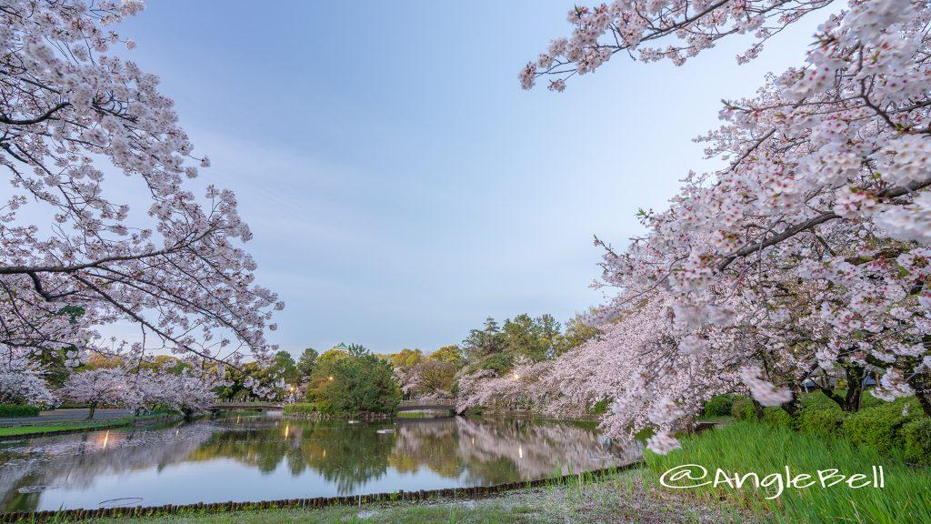 早朝 名城公園北園 おふけ池から見る桜の風景(領内桜)2019