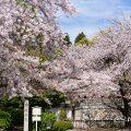 東別院 古渡城跡碑・石碑と桜 2019