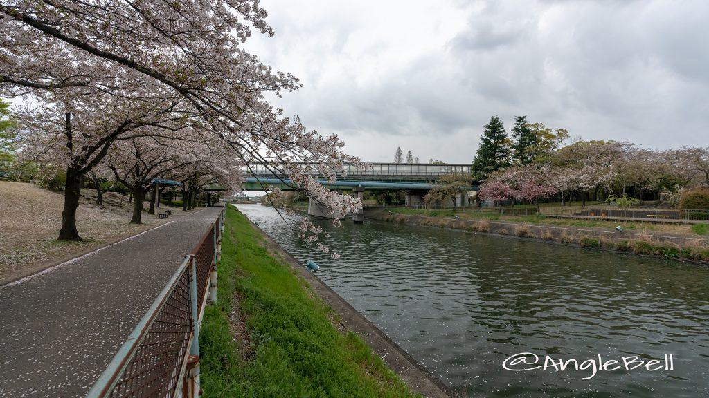 荒子川緑道 桜並木(荒子川公園)