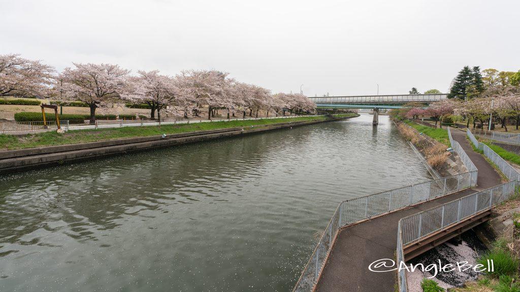荒子川公園(連絡橋)桜並木 2019