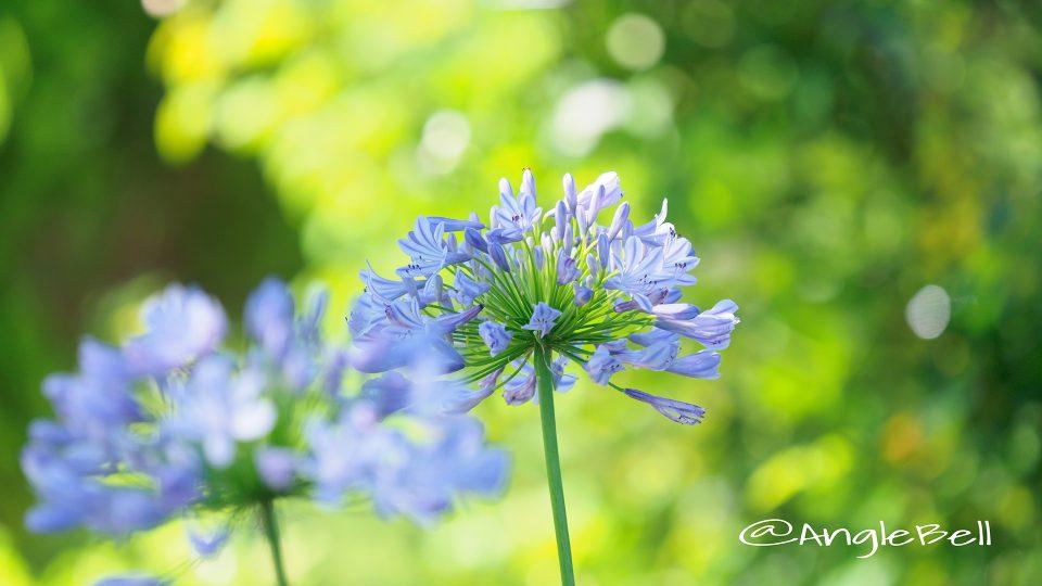 ムラサキクンシラン 紫君子蘭